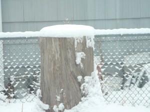 Poor old stump is wearing snow again.
