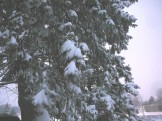 Poor evergreen has heavy snow on it....but it looks pretty!