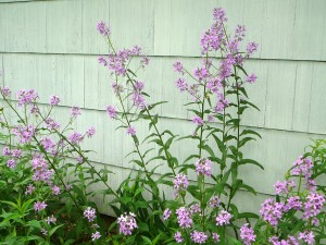Mom says these are some phlox that have been around forever.