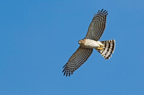 Cooper's Hawk s36-35-008_V