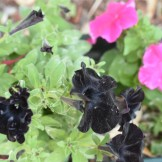 Black and Pink Pansies
