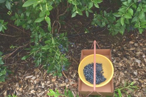 Blueberry Trip 4