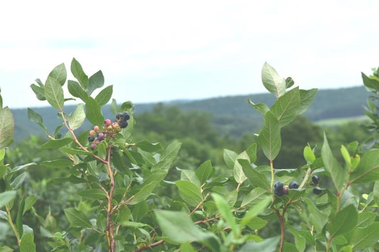 Blueberry Trip 9